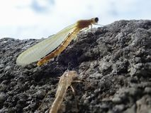 Just hatched damselfly with remains of exoskeleton. Exuvia Royalty Free Stock Photo