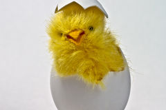 Just hatched Easter Chicken in its eggshell Royalty Free Stock Photo