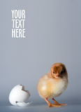 Just hatched. Postcard Royalty Free Stock Image