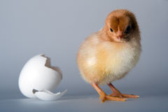Just hatched. Postcard Royalty Free Stock Photos