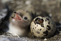 Just hatching baby bird. Just hatching baby bird Common Tern. Russia.Ladoga Lake royalty free stock photography