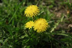 Yellow Dandelion Highly Detailed. Just a high quality photo of nature Stock Images