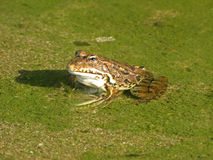 Just, kiss the frog Royalty Free Stock Photography