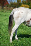 Rear end of a horse. Hind quarters of horse in alfalfa pasture stock photography
