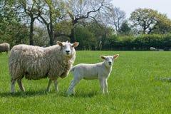 Just like mom - lamb and ewe Stock Photography
