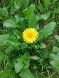 Just a little dandelion. Isolated yellow dandelion flower in the grass royalty free stock photography