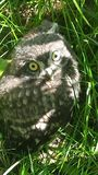 Just a little owl, pretty scared stock image