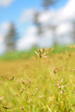Just a little Star flowers golden fields but so big in my mind Stock Photography
