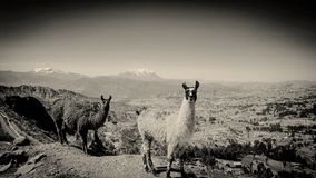 Just llamas Royalty Free Stock Photos