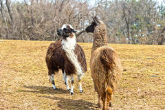 Just Between Llamas Stock Image