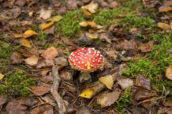 Big red fly agaric on a leaf litter royalty free stock images
