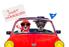 Just married dogs Stock Photos