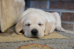 Just Napping Yellow Labrador Puppy Stock Photos