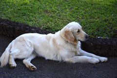 Golden Retriever in the Beautiful Garden of the Governors Palace in Funchal on the island of Madeira Portugal Stock Photos