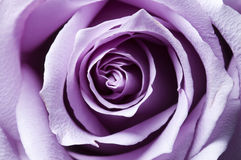 Just opened purple rose Stock Photos