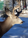 Just Passing Through. Buck and doe wandering a residential neighborhood in mid winter royalty free stock photos