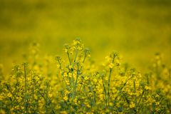 Colza. Just a photo of a colza fields blooming Stock Photos