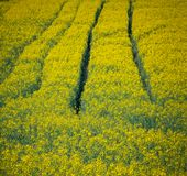 Colza. Just a photo of a colza fields blooming Royalty Free Stock Photos