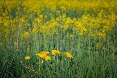 Colza. Just a photo of a colza fields blooming Stock Image