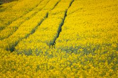 Colza. Just a photo of a colza fields blooming Royalty Free Stock Image
