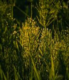 Field in morning dew Stock Photography