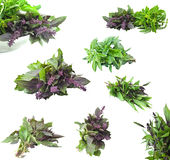 Just picked Basil Royalty Free Stock Photos