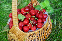 Just Picked Cherries Stock Photography