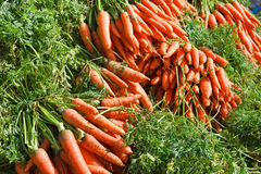 Just picked fresh organic carrots Royalty Free Stock Image