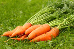 Just picked fresh organic carrots Stock Photos