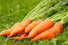 Just picked fresh organic carrots Stock Images