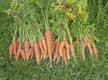 Just picked new fresh organic carrots Stock Photos