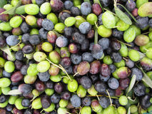 Just picked olives background during harvest time . Tuscany, Italy Royalty Free Stock Photography