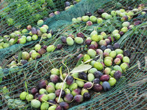 Just picked olives on the net during harvest time . Tuscany, Italy Royalty Free Stock Photo