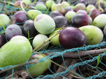 Just picked olives on the net during harvest time . Tuscany, Italy Royalty Free Stock Photography