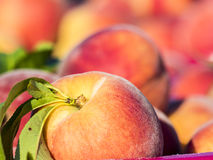 Just picked peaches Stock Photography