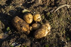 Fresh potatoes just dug out of the ground royalty free stock images