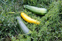 Just picked vegetable marrow. Beginning of august Royalty Free Stock Image