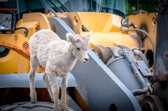 Just Playing Around. Bighorn lamb playing on front end loader Stock Images