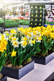 just rained желтый цвет daffodils белый Стоковые Изображения
