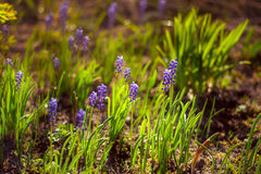 just rained Blå muscari i solnedgångljuset Royaltyfria Bilder
