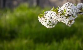 just rained Blomning för körsbärsrött träd med gröna sidor på en suddig grön bakgrund med härlig bokeh arkivfoto