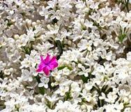 just rained Lila vita blommor som en bakgrund Royaltyfri Foto