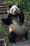 Just relaxing. Giant panda having some bamboo for breakfast Stock Photography