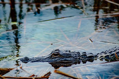 Just relaxing. A young Alligator resting in a shallow spot in South bay Fl stock photography