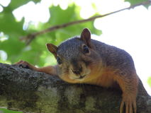 Squirrel Relaxing on Tree Branch Stock Image