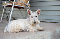 Just Resting!. Wheaten Scottie resting on the porch Stock Photo