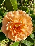 Just rosey. Orange rose in full bloom Stock Photography