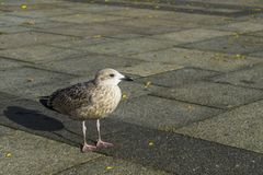 Seagull enjoying life in the city royalty free stock photography