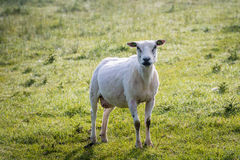 Just shorn sheep standing in the grass Royalty Free Stock Photo