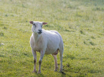 Just shorn sheep stands in the grass. Recently shorn sheep poses in the still dewy grass early in the morning in the summer season Stock Image